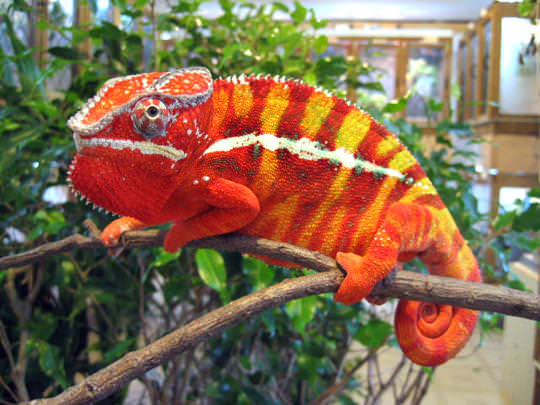 A panther chameleon.