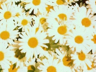 Literally the Best Thing Ever: Daisies