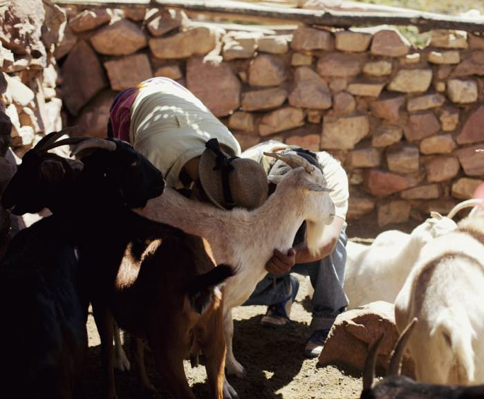Milking goats.