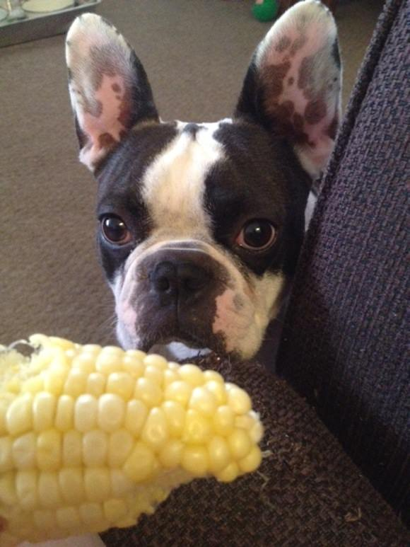 Mr. Shankly Lodi, a half–French bulldog, half–Boston terrier, lurking on some corn.