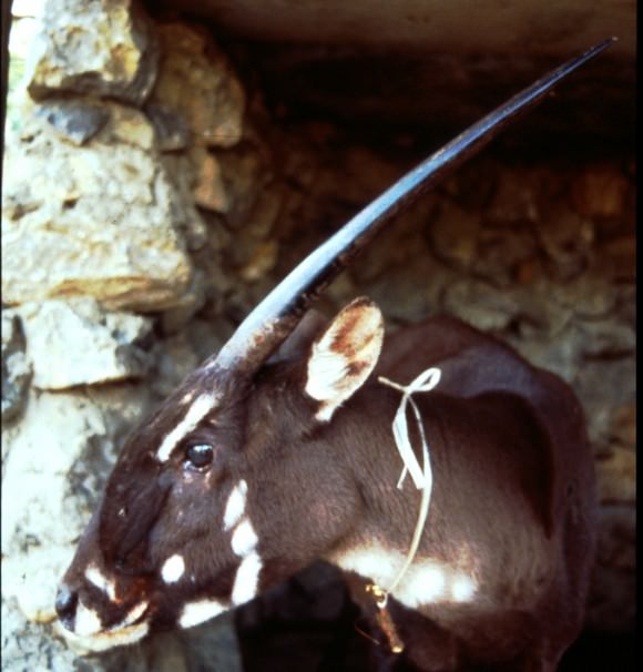 A female saola photographed by William Robichaud in 1996.
