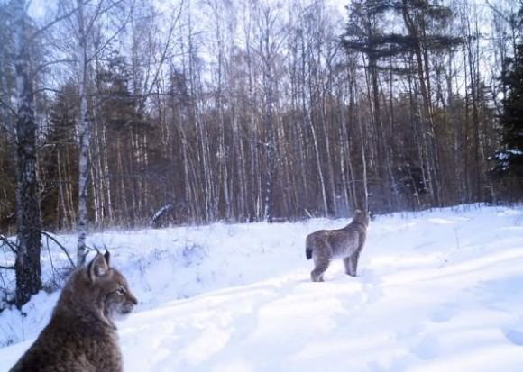 Eurasian Saturday lynx captured by time-lapse cameras in Ukraine via Salon.