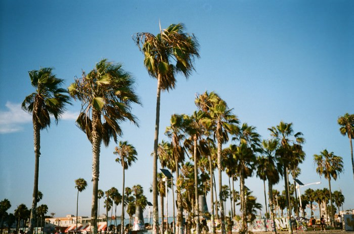 Palm trees on Venice Beach.