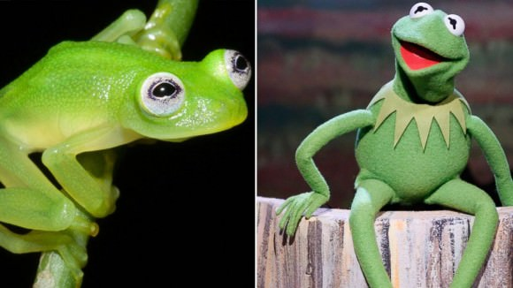 Left, photo of Hyalinobatrachium dianae by Brian Kubicki. Right, photo of Kermit the Frog by Lloyd Bishop, via ABC News.