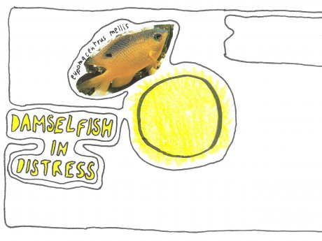 Damselfish in Distress